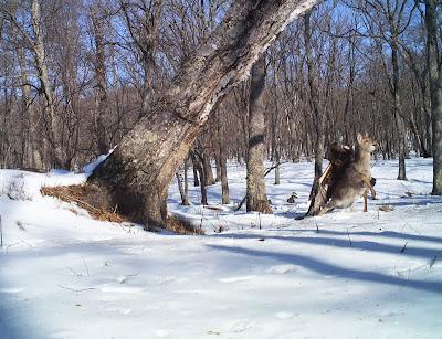 Eagle Snags Deer