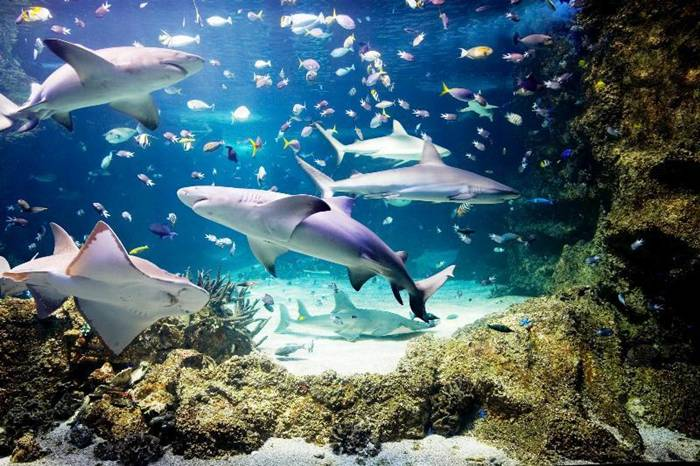 Sharks swim so close to the visitors who are at the bottom of the Sydney aquarium in a glass tunnel that captures the spirit of fear and delight. Some of the sharks weigh three hundred pounds and reach a length of three meters. Seaquarium has interesting displays such as the