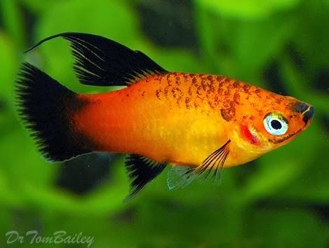 Platy Fish - Photo source link