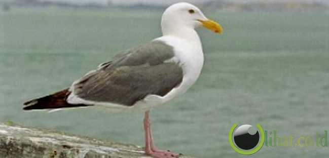 Alcatraz adalah nama burung