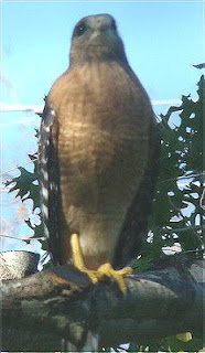 Alert red shouldered hawk looking out for himself from a tree
