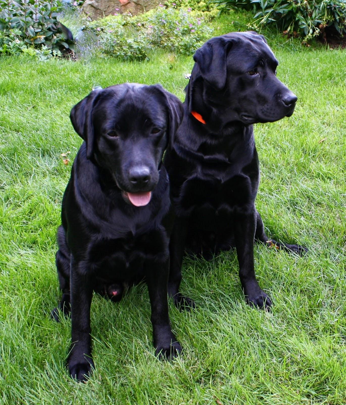 Labradors, Labrador retriever and Labrador noir on Pinterest