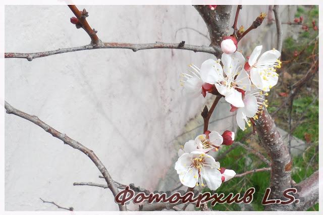 цветение урюка