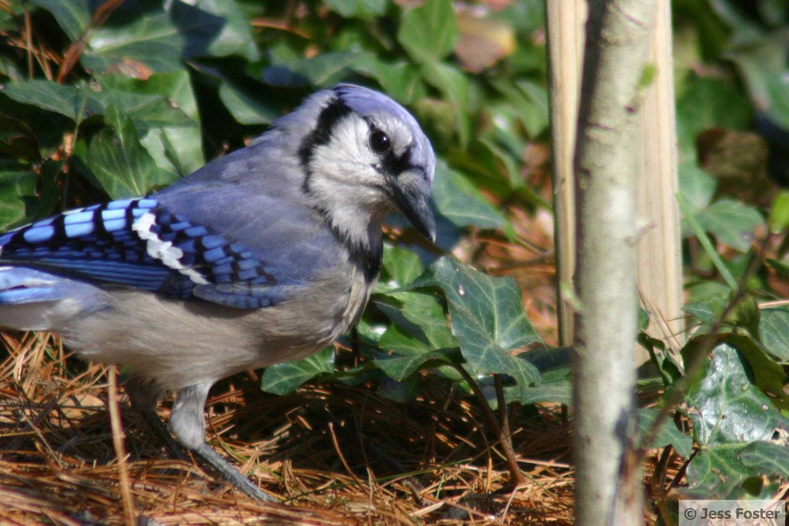 Sluggin\' Along: The Vault: Passerine Birds - Blue Jay
