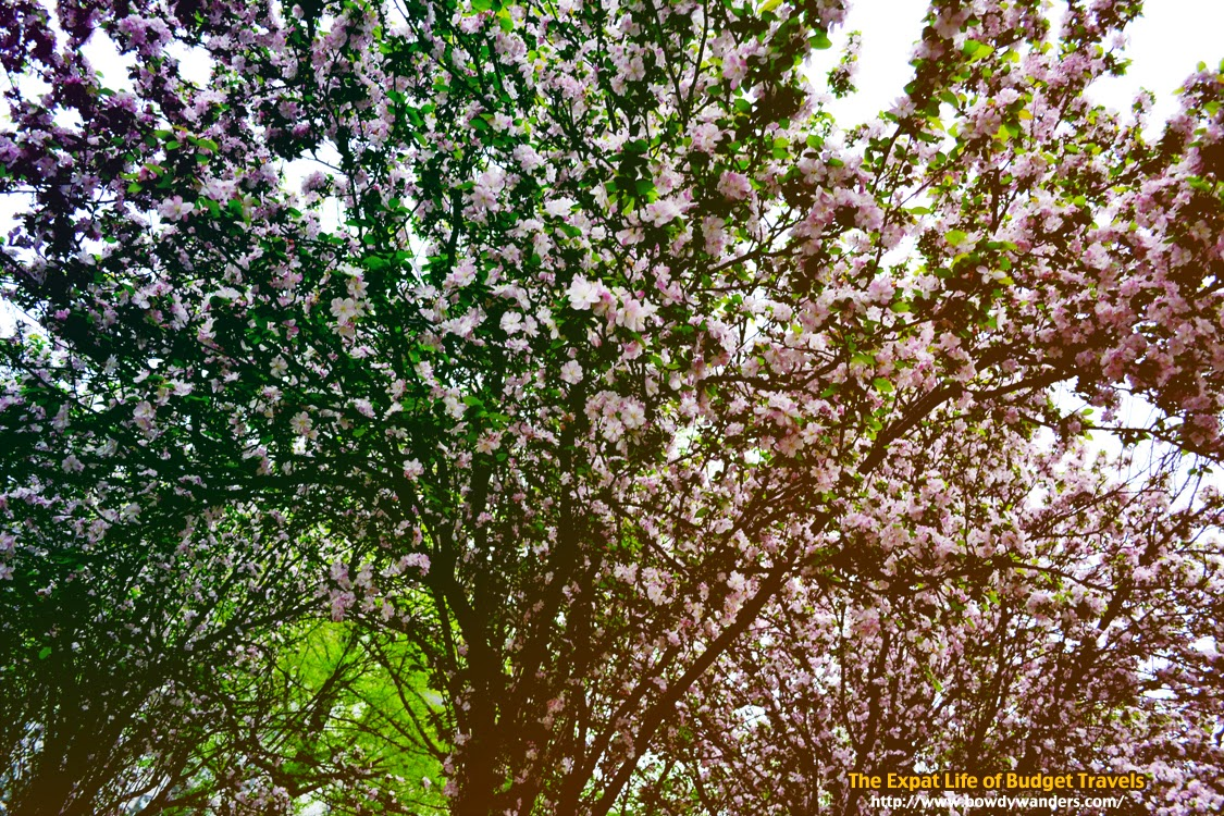 Seoul-Korea-Cherry-Blossoms-The-Expat-Life-Of-Budget-Travels-Bowdy-Wanders