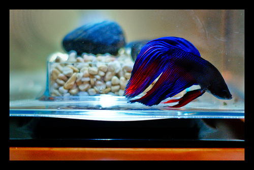 Fish entertainment and ways to make money betta fish for How much are betta fish at walmart