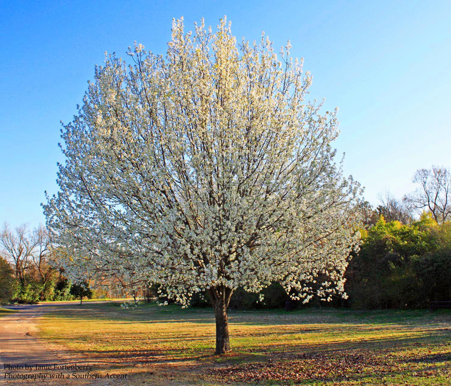 Southern lagniappe in sweet anticipation Bradford pear