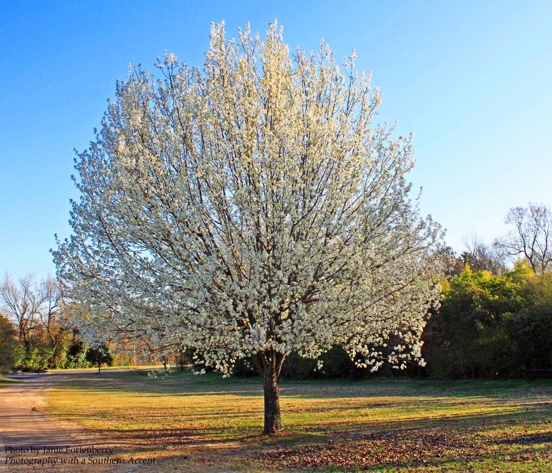Southern Lagniappe In Sweet Anticipation: bradford pear