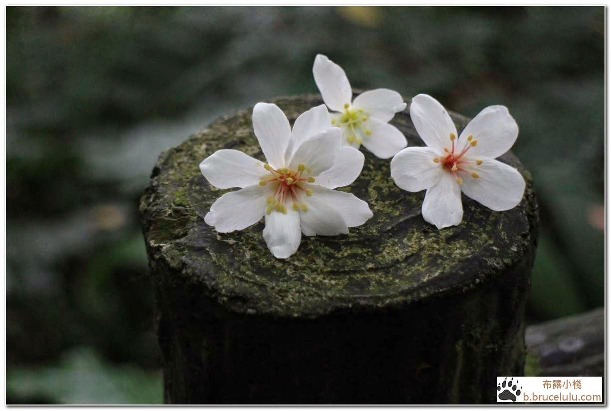 油桐花季-土城-承天禪寺
