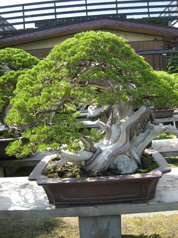 Nostromo bonsai jardin de kimura parte iii - Jardin de bonsais ...