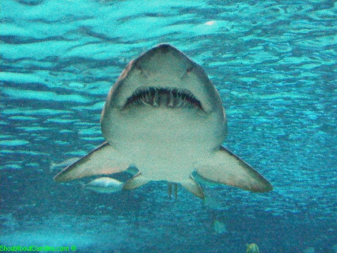 im smiling sand tiger shark closeup