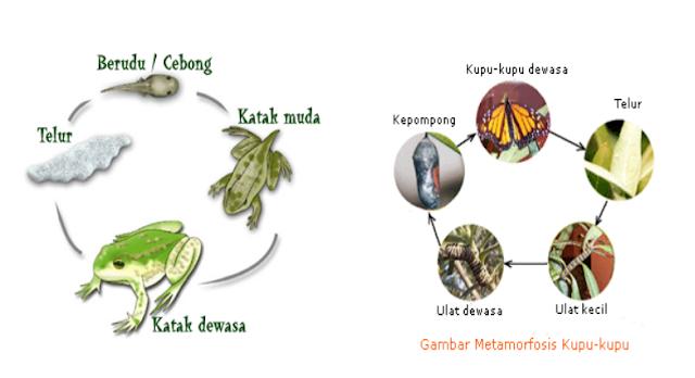 Metamorfosis sempurna pada katak dan kupu-kupu