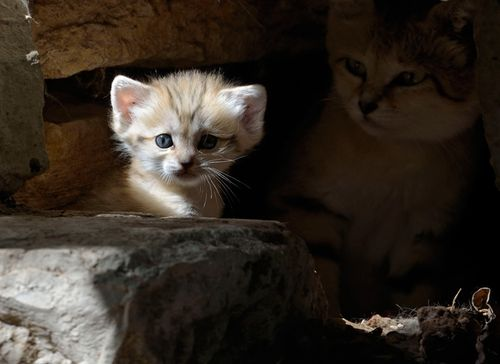 Rare Sand Kitten Birth Gives Hope for Conservation Seen On www.coolpicturegallery.us
