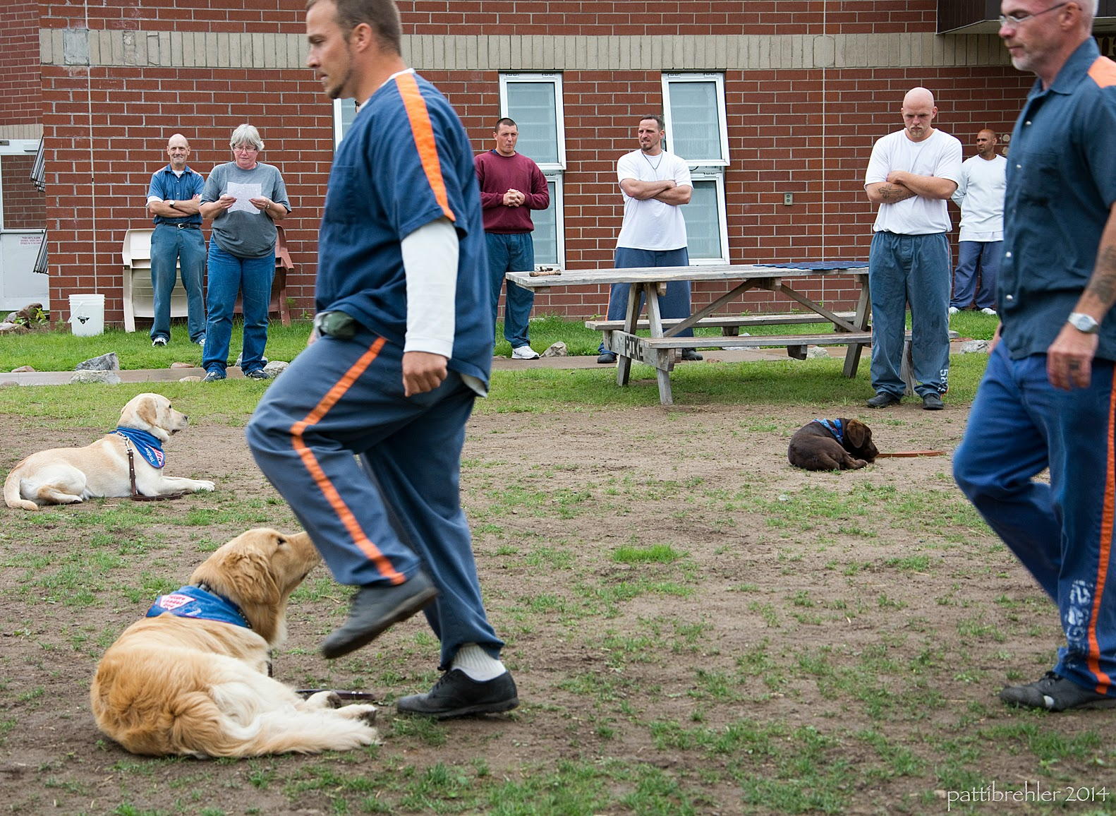 The goldens and chocolate lab are still lying down while two men dressed in the prison blue uniforms step over them. There are several men and the woman standing in the background watching.