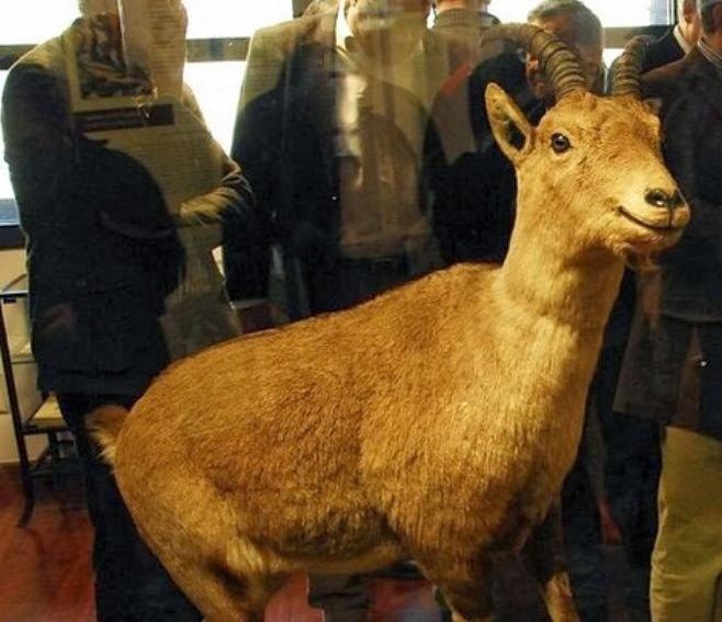 Fresh effort to clone extinct animal