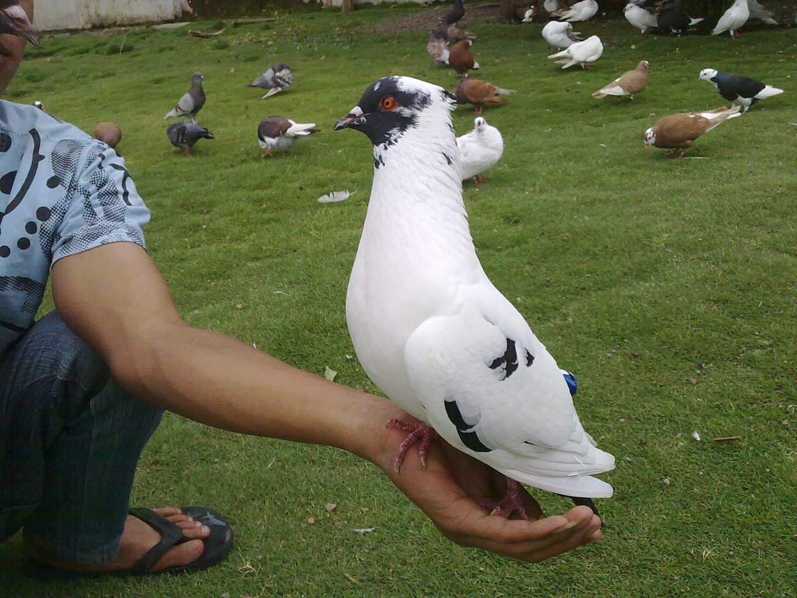 Burung Dara Aduan