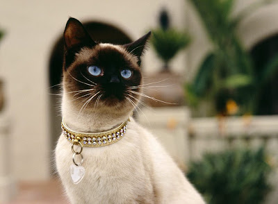 siamese cat color pets kitten animal domestic wallpaper