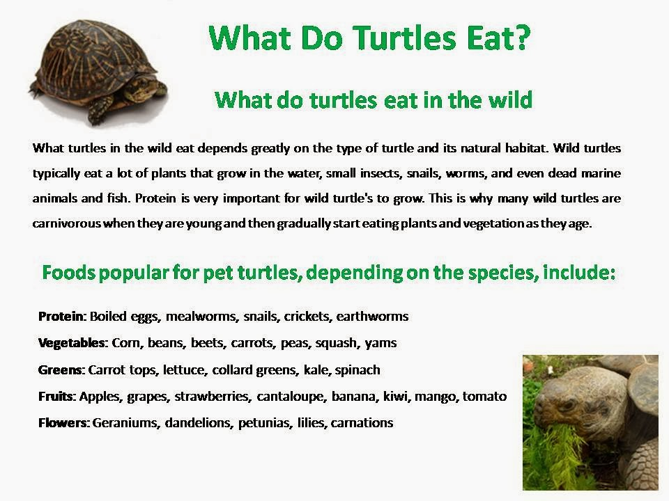 what do turtles eat? ? 4best of
