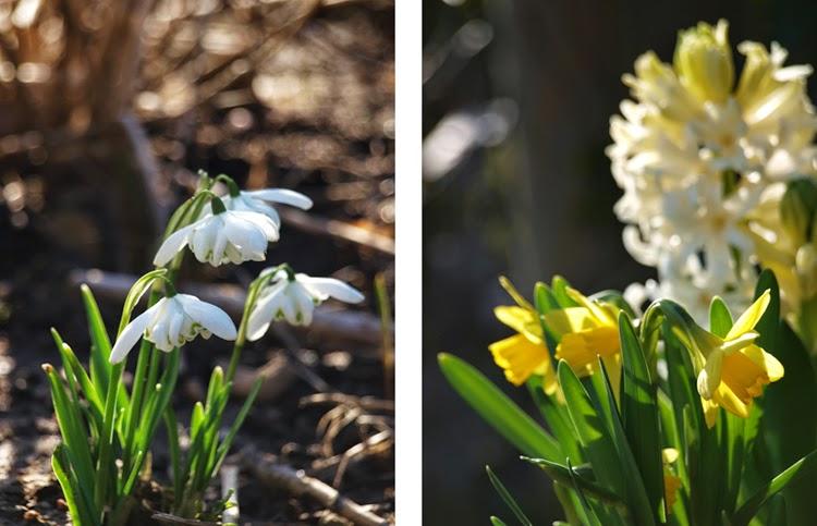 Vintergækker, påskeliljer og hyacinter i haven