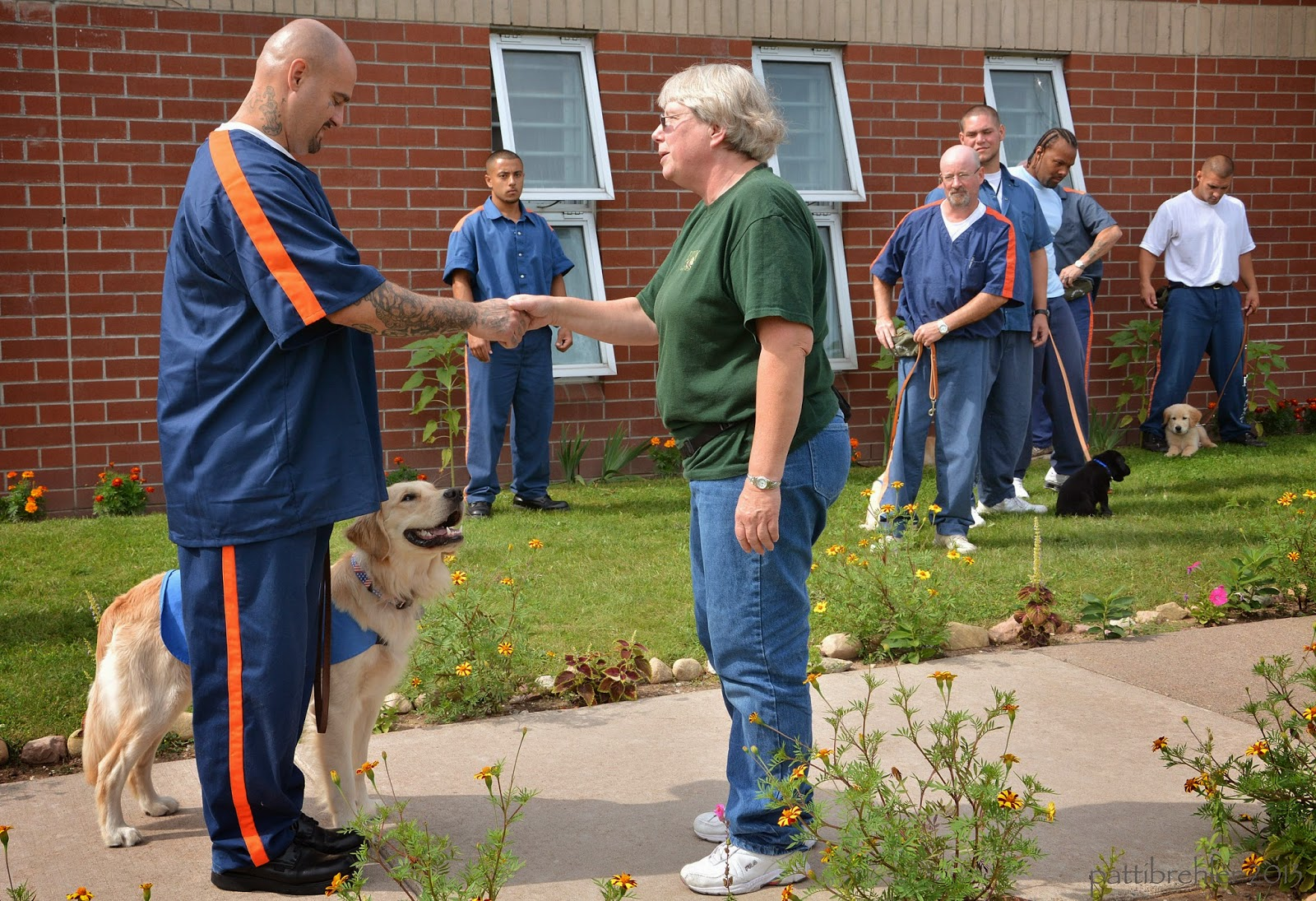 A group of inmates are outside of a brick building with their puppies - they are in the background of the picture. In the foreground is an inmate on the left side shaking hands with a woman on the right side. The inmates are wearing the blue and orange prison uniforms. The woman is wearing a green t-shirt and bluejeans. The inmate on the left has a golden retriever standing at his left side. The dog is wearing a baby blue working jacket and is looking up at their hands, but is calm. There is green grass in the background. The man and woman and dog are standing on a sidewalk. There are flowers lining the sidewalk.