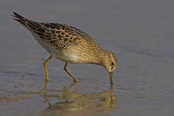 Pectoral Sandpiper, Grafham Water