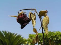 imagen flor marchita