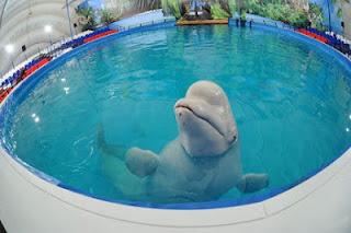 Белуха в передвижном дельфинарии