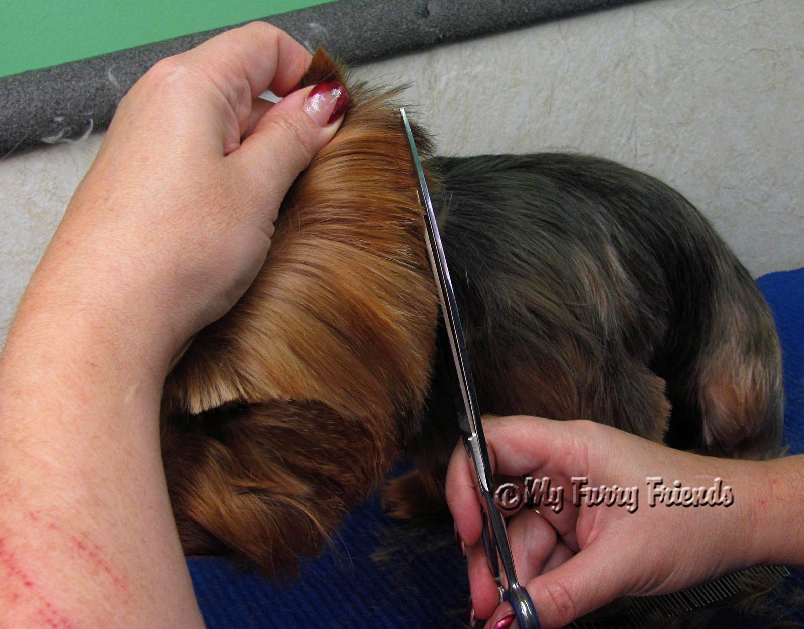 Coloring pictures yorkies - After I Have Both Edges Of The Ear Even With Each Other I Comb Or Brush All Of The Hair Around The Ear Out In Front Of The Fold