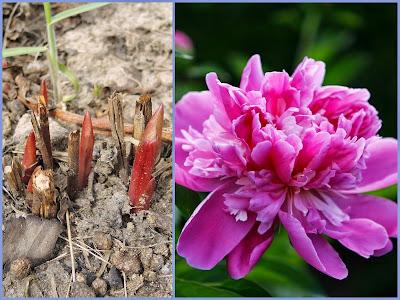 цветы, пионы