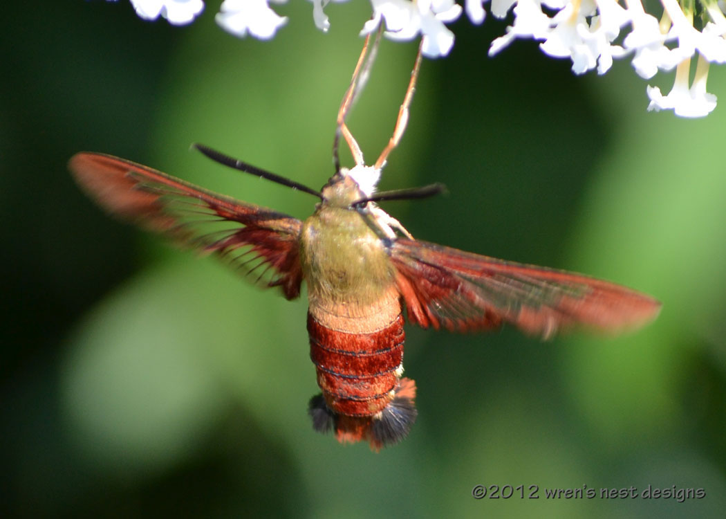 """Chatter from the Wren's Nest: """"I just saw a baby hummingbird!"""""""