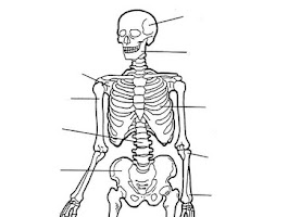 Human Body Muscle Coloring Pages