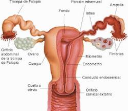 ANATOMÍA ON LINE: Aparato reproductor femenino