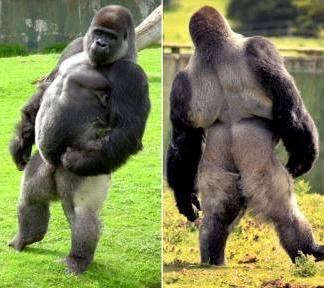 Bigfoot Evidence: Walking Gorilla At Port Lympne Wild ...