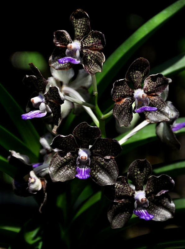 Black Orchid Flower  BLACK ORCHID   photography black orchid