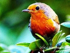 Foto Burung Robin Terbaik
