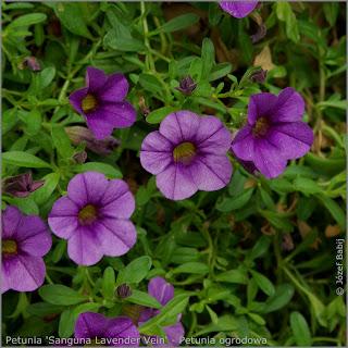 Petunia 'Sanguna Lavender Vein' - Petunia ogrodowa 'Sanguna Lavender Vein'