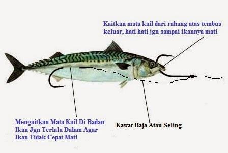 Cara Pasang Umpan Ikan Hidup