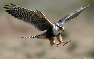Halcón aterrizando