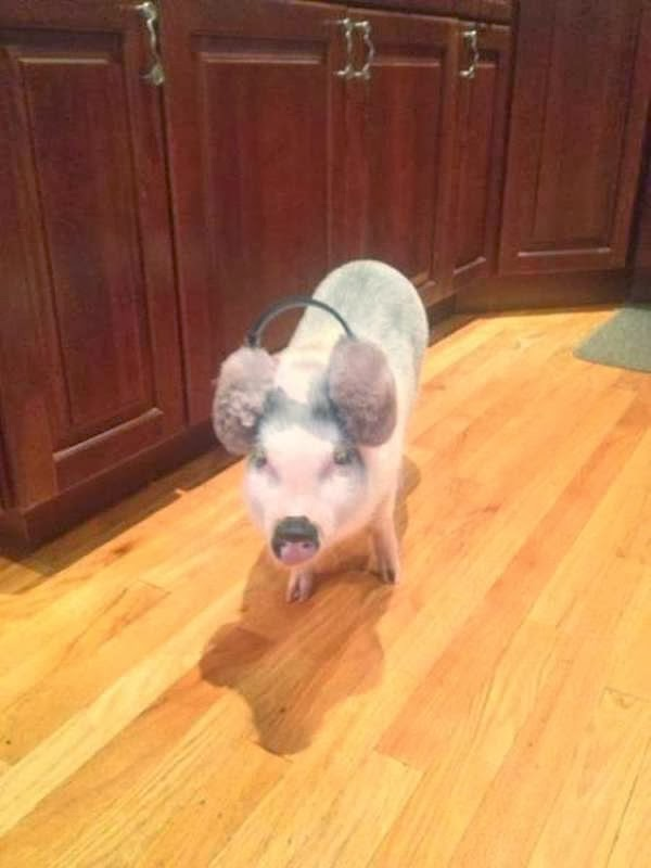Funny animals of the week - 22 November 2013 (35 pics), pig wears ear covers