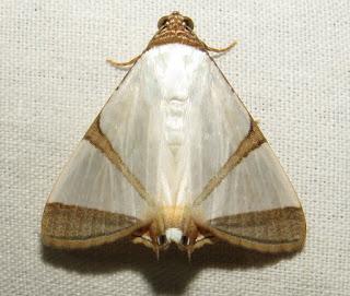 Eulepidotis cf. persimilis
