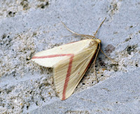 Latest New Macro Moth Species - Vestal