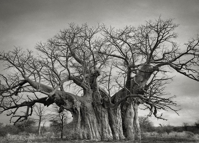 beth moon oldest living trees-5