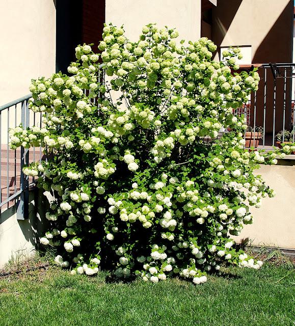 Il mondo in un giardino viburno palla di neve - Sempreverde da giardino ...
