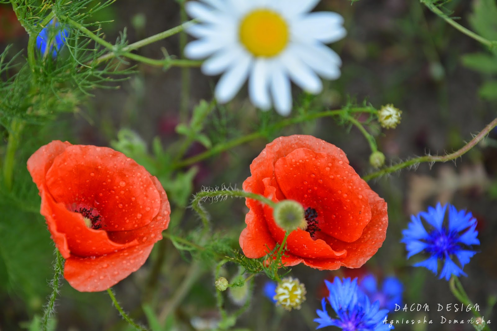 Dacon-Design-photography-Wildflowers