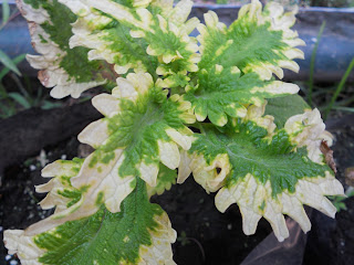 green and white coleus with scalloped leaves