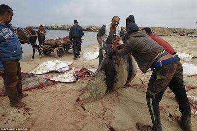 Berpuluh-puluh ikan pari terdampar