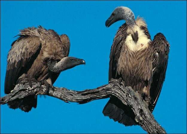 Buzzard vulture difference - photo#17