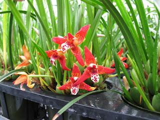 Maxillara tenuifolia orchid flowers