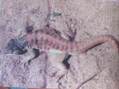 Lagartija del Aconquija Liolaemus huacahuascicus