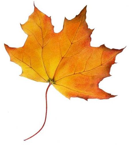 Maple Leaf Description Sugar Maple Leaf